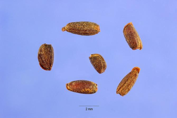 Посев семян ночной фиалки проводится примерно в первых числах апреля