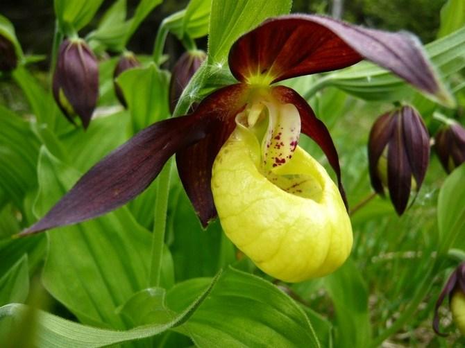 Венерин башмачок. Пафиопедилум. Выращивание и уход в домашних условиях
