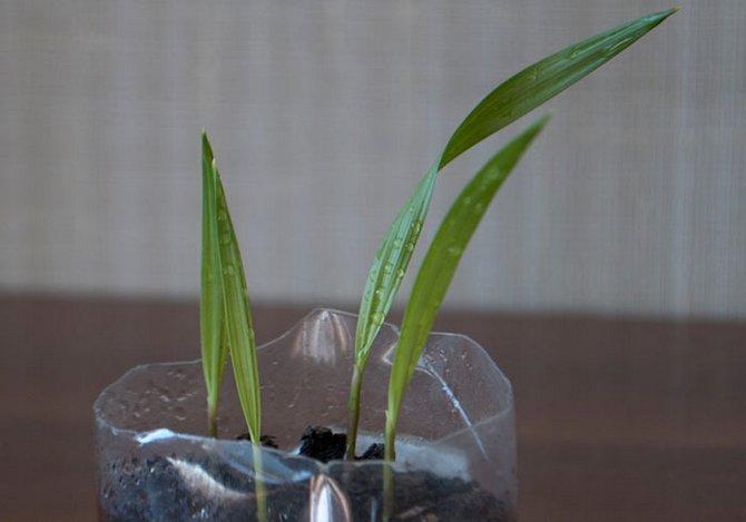 Выращиваем комнатную пальму вашингтонию из семян