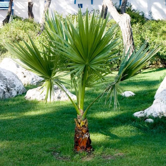 Популярные сорта и виды экзотической пальмы