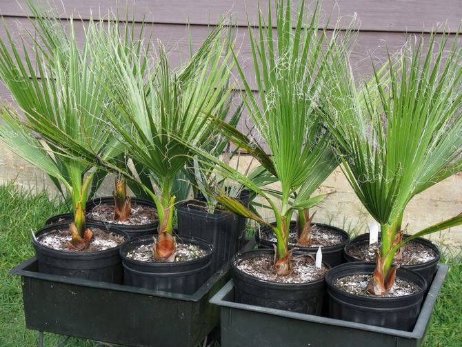 Для комнатной пальмы вашингтонии очень важен влажный воздух