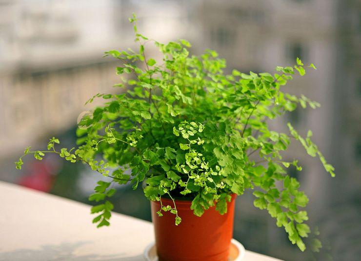 Растение адиуантум