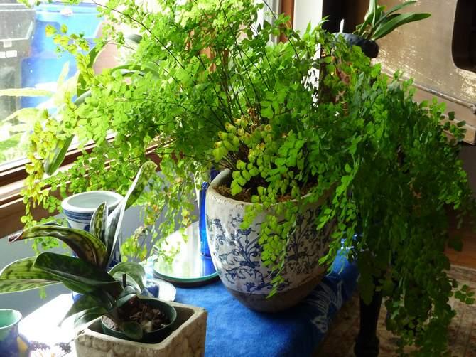 Проблемы при выращивании адиантума