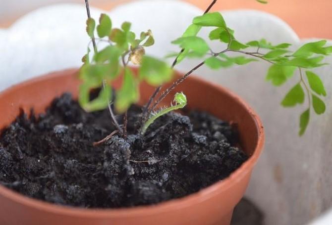 При посадке и пересадке папоротникаважно учитывать, что адиантум хорошо растёт в рыхлых и кислых почвах, обогащённых гумусом.