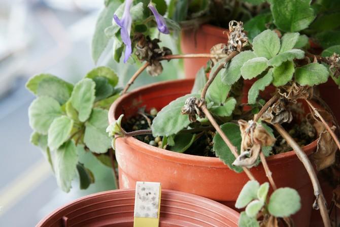 Чаще всего растение болеет из-за неправильного ухода.