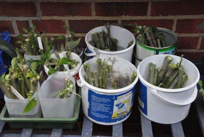 Бругмансия – это растение, которое может размножаться несколькими способами: семенным, черенкованием и отводками.
