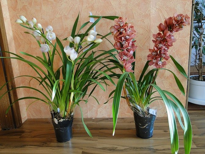 Уход в домашних условиях за орхидеей цимбидиум