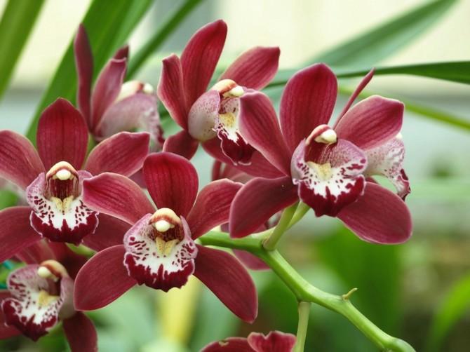 Цимбидиум. Уход в домашних условиях за орхидеей цимбидиум. Выращивание, посадка и размножение. Описание, виды, фото
