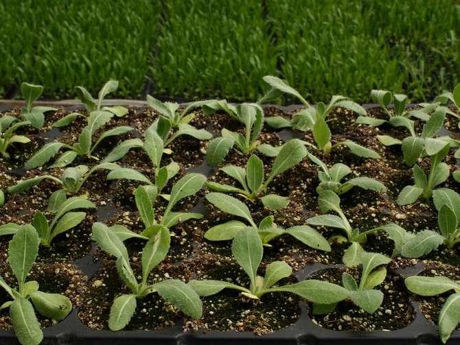 Выращивание гайлардии в открытом грунте