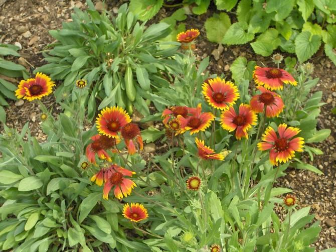 Уход за цветами гайлардия в открытом грунте