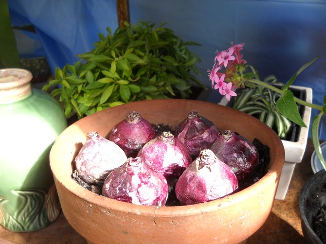 Выбор луковицы и выгонка гиацинтов