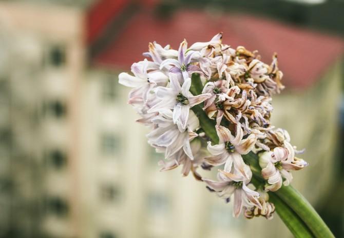 Проблемы выращивания гиацинтов