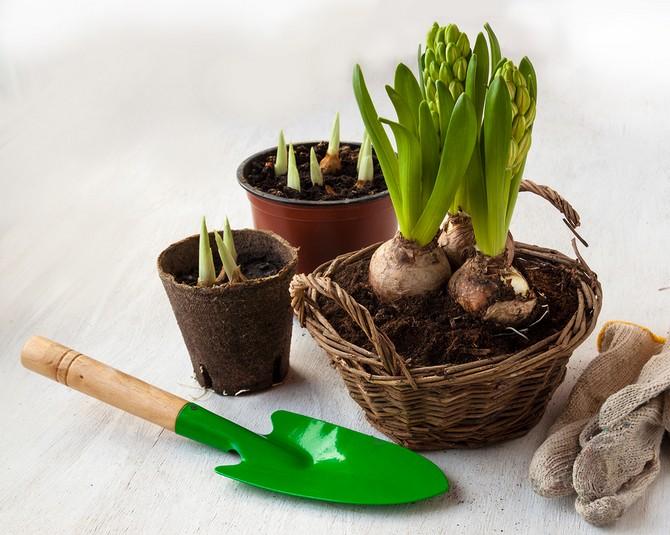 Растение нуждается в регулярном, но бережном поливе.