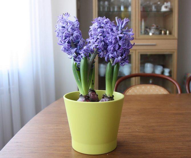 Цветок гиацинт фото в домашних