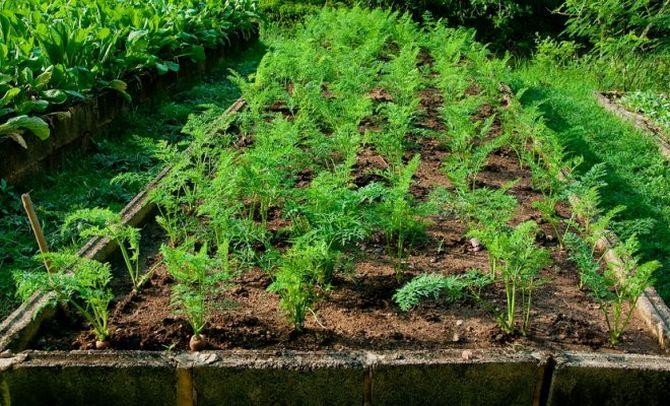 Уход за грядкой морковки
