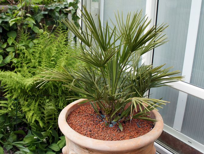 Финиковая пальма: уход в домашних