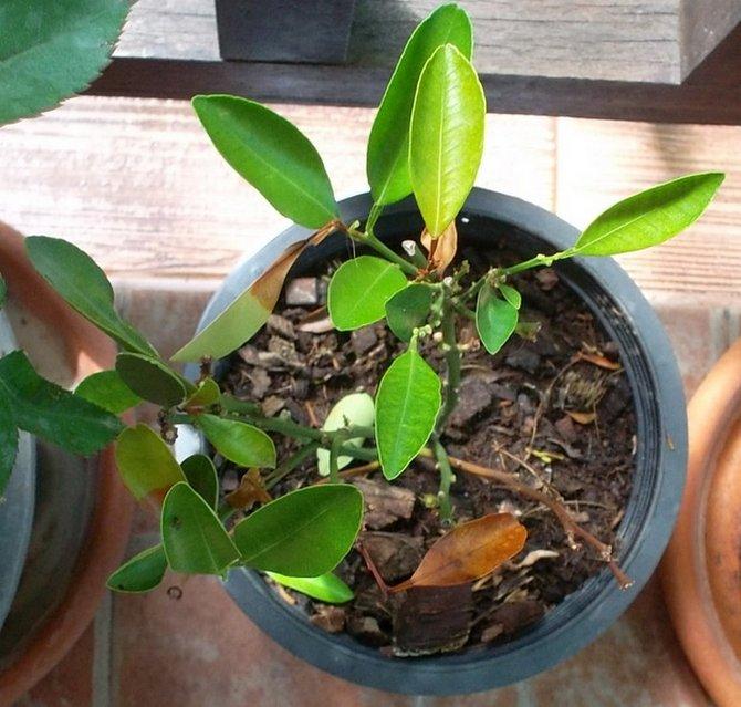 Листву каламондина требуется регулярно опрыскивать и не давать ей высохнуть, а почву – часто поливать.