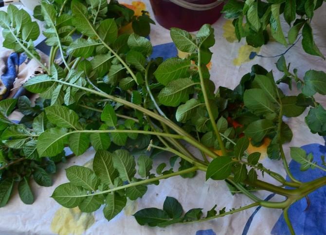 Выращивание мини-клубней картофеля из черенков