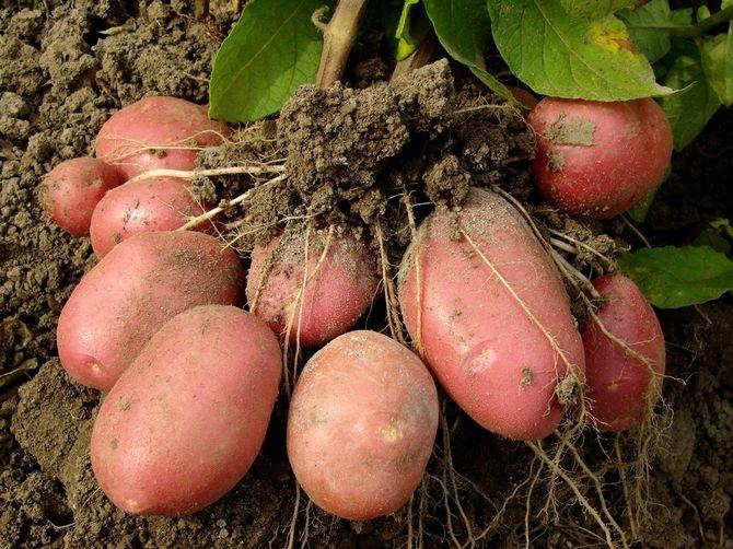 Выращивание мини-клубней картофеля из крупного клубня
