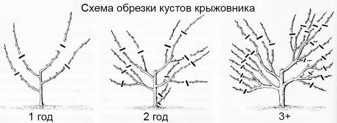 Классический способ формирования крыжовника