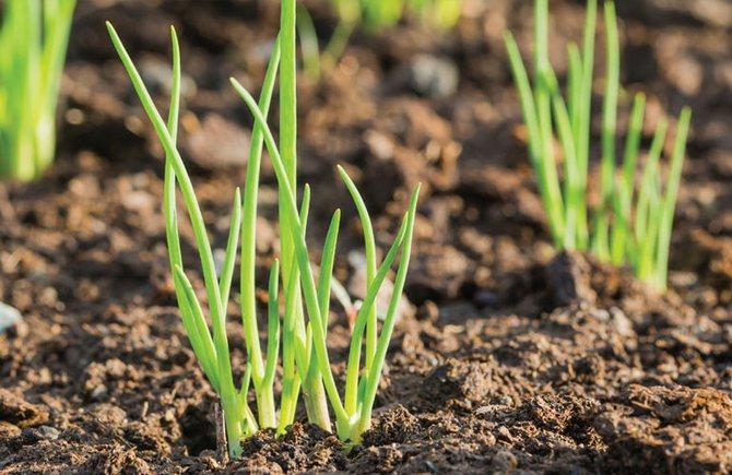 Выращивание перьев лука одно из простых занятий и совершенно не трудоемкое.