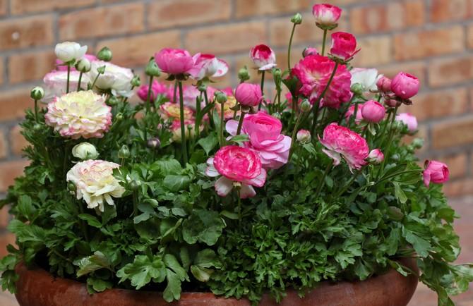 Цветы лютики – посадка и уход. Выращивание лютика в саду, когда и как сажать. Размножение садового лютика