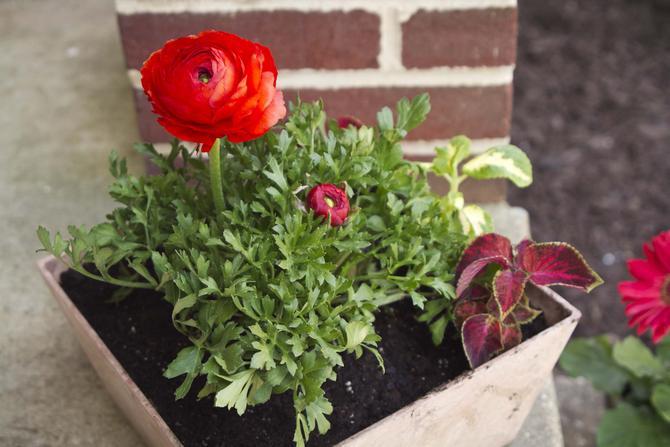Садовый лютик прекрасно сочетается на клумбе с различными растениями.