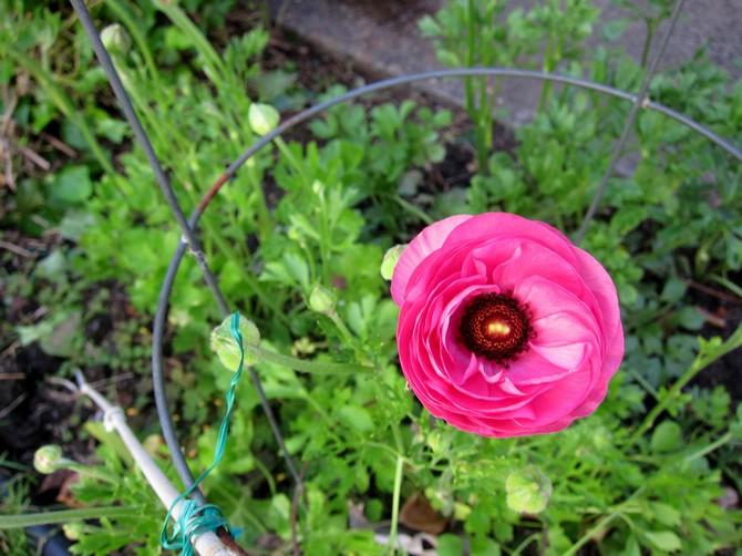 Уход за цветком лютик в открытом грунте