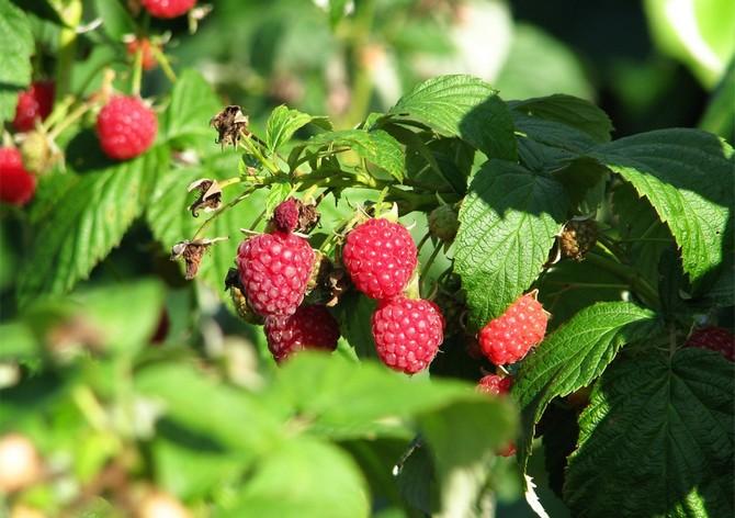 В первые годы жизни, когда растения набираются сил и продолжается их формирование, потребуется подкормка в виде органических удобрений.