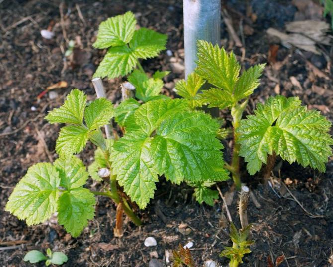 Малина любит расти на пористых, легких и увлажненных участках земли.