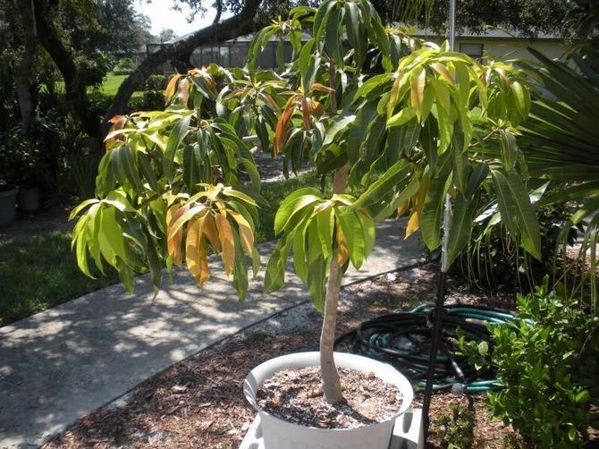 Манго – уход в домашних условиях. Выращивание и размножение мангового дерева