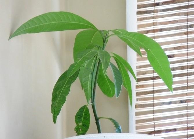Уход за манго в домашних условиях