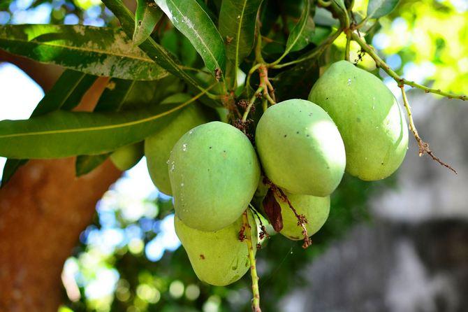 Созревшее манго может весить до 2-х килограмм.