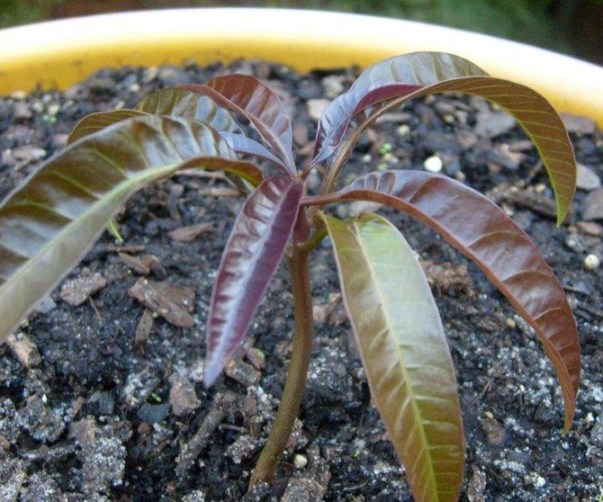 В меру увлажненная земля – это оптимальная почва для выращивания тропического дерева.
