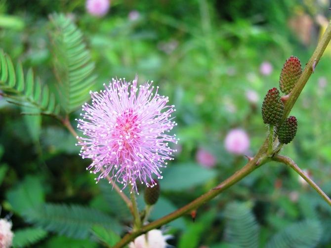 Фото цветка мимоза