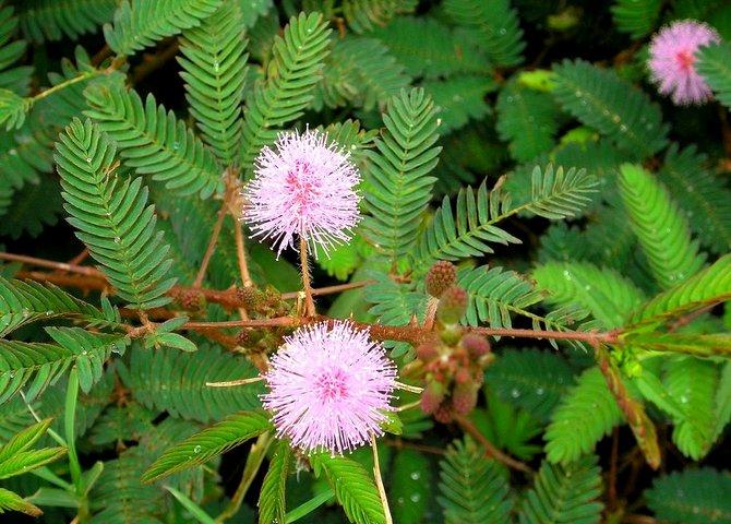 Растение является небольшим кустарником с мелкими цветками шарообразной формы, листья которой похожи по внешнему виду с таковыми у папоротника.