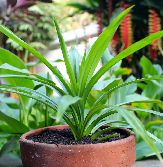 Для полива винтовой пальмы используют только профильтрованную или отстоянную воду.