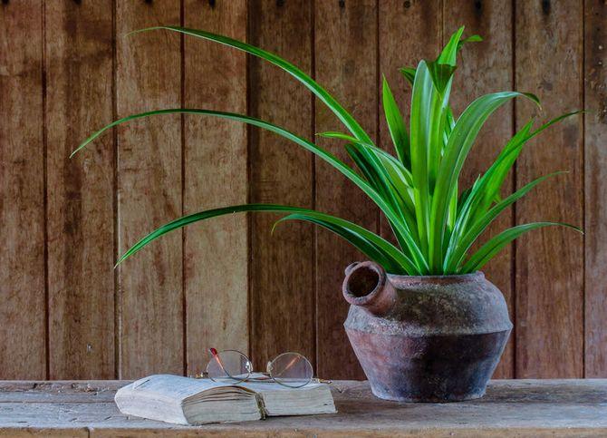 Панданус – уход в домашних условиях. Выращивание винтовой пальмы. Пересадка и размножение. Описание, виды, фото