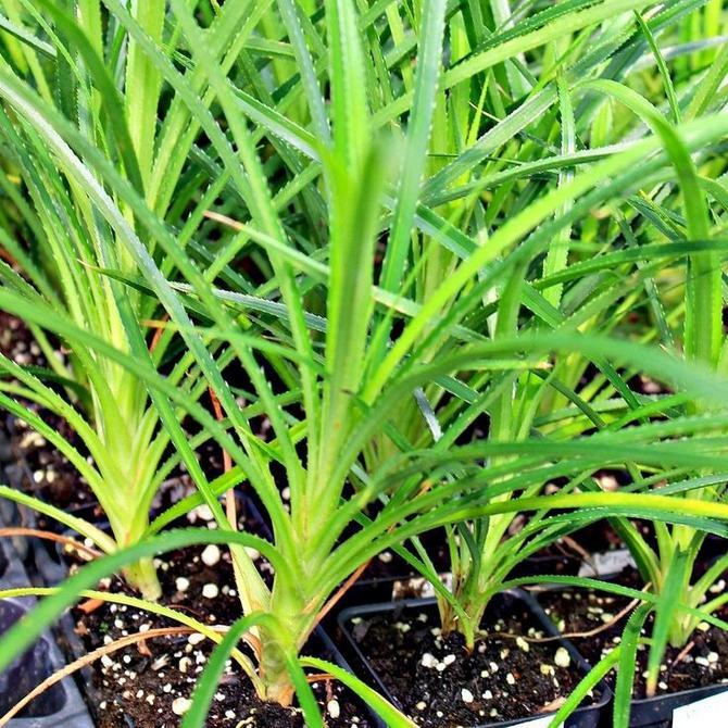 Комнатные панданусы могут размножаться семенным способом, черенкованием и разделением куста.