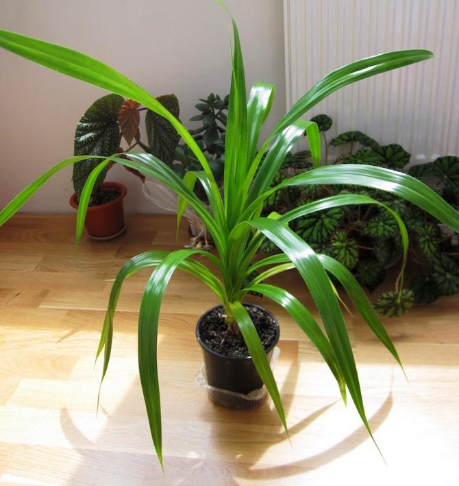 Уход и выращивание пандануса дома