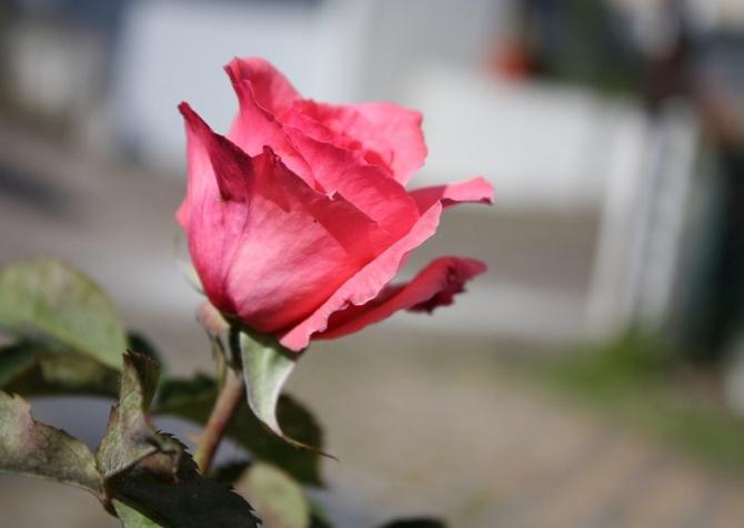 Описание сорта роз Паризе Шарм