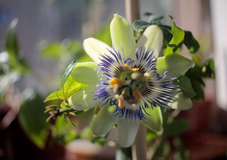 Выращивание пассифлоры