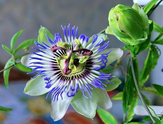 Пассифлора – уход в домашних условиях. Цветок домашняя пассифлора – выращивание из семян. Описание, виды, фото