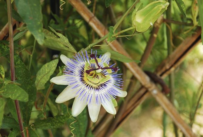 Благодаря своим уникальным свойствам это растение используется в медицине