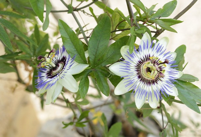 Пассифлора – выращивание и уход за растением дома