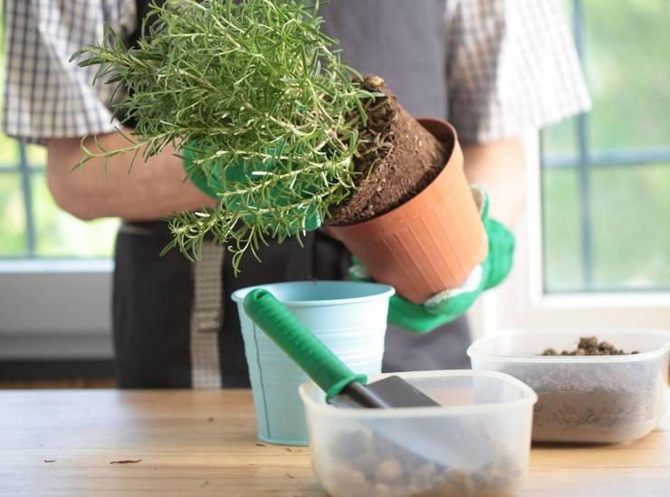 Пересадка залитого растения