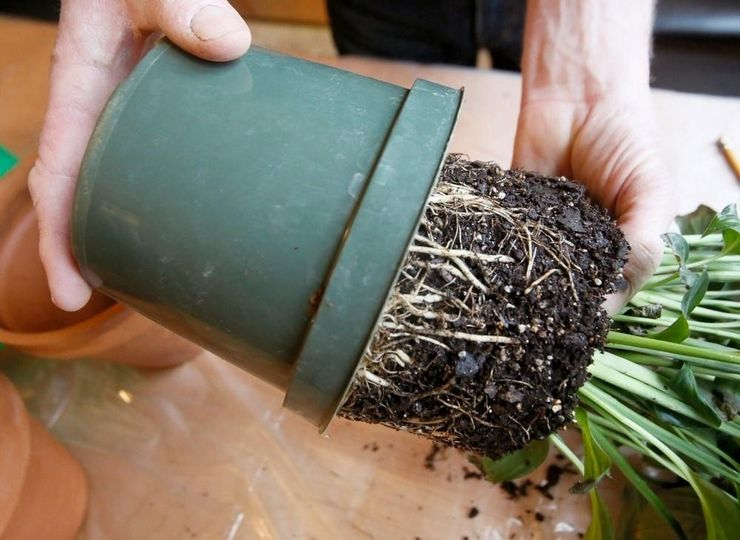 Как спасти залитый цветок