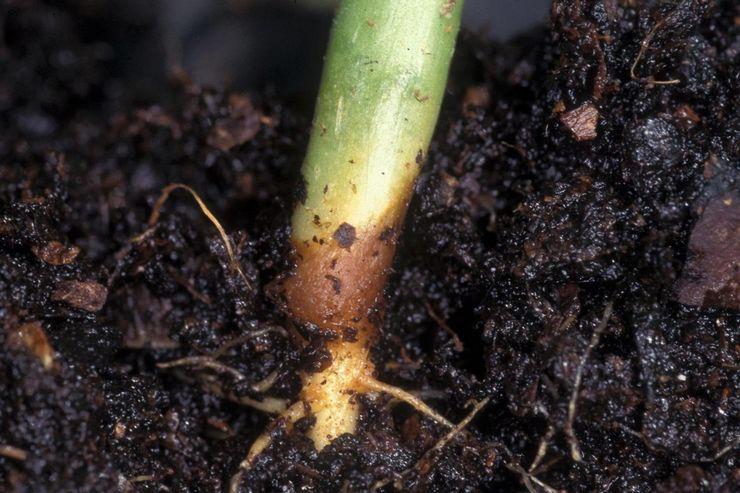 Закисание почвы из-за перелива
