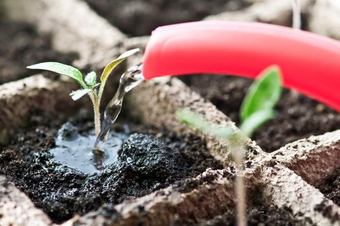 Томаты – это растение устойчивое к понижению температуры и к засухе. Поливы этим культурам требуются умеренные.