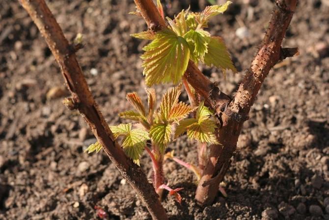 Чтобы урожай малины на одном и том же участке в течение многих лет был высоким, нужно начинать с правильной посадки кустов.